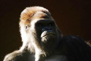Ruanda: Trekking de los Gorilas en PN Volcanes
