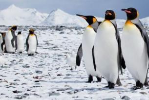 Antártida e islas Sub-Antárticas -  OFERTA-Falklands, South Georgia y Pen. Antártica - M/V Ortelius. Salida 13-Feb