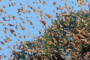 México -  Mariposas Monarca en Michoacán y ballenas en Baja California.  - Extensión Barrancas del Cobre.